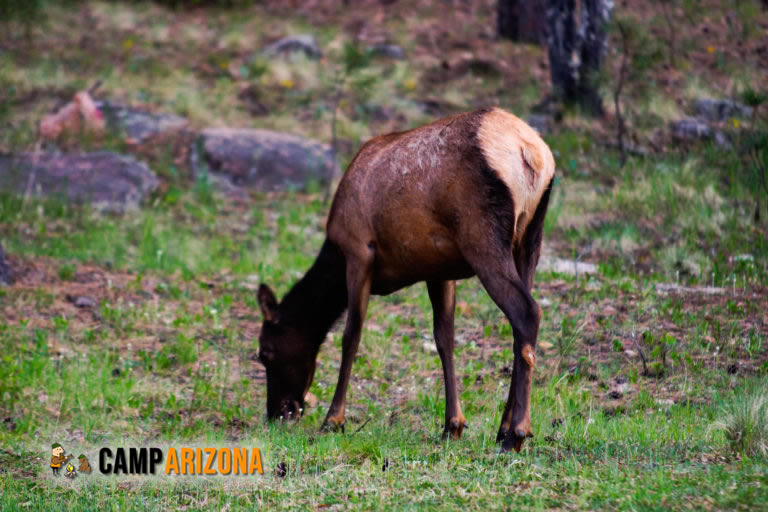 Elk Near Woods Canyon Lake